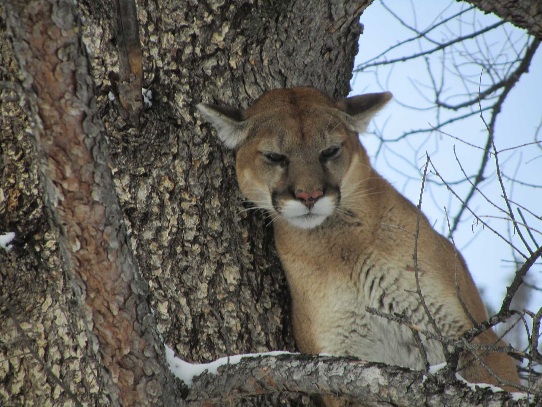 Mountain Lion & Wolf Guided Hunts In Idaho   Mile High