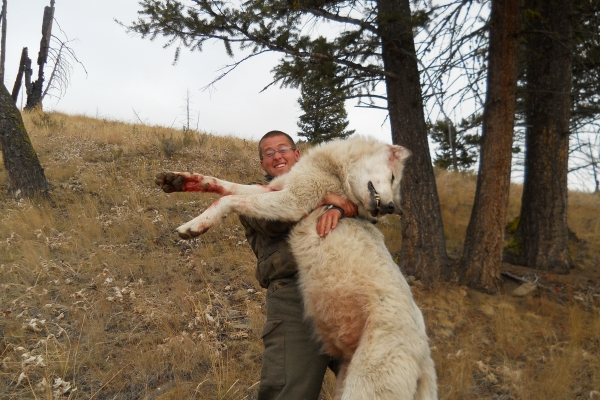 large-male-gray-wolf-harvested-by-scott-november-2011-400000056635-892D-BA60-1351-100E25FA6AAD.jpg